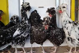 Çanakkale, Süs Tavuklarının Görsel Şölenine Hazırlanıyor