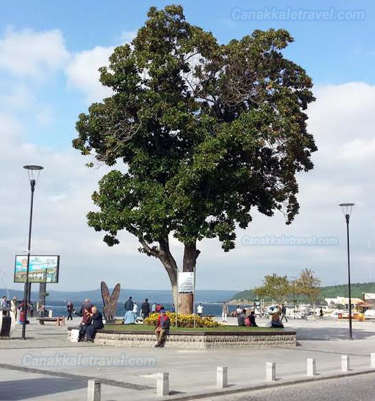 Çanakkale Manolya Ağacı